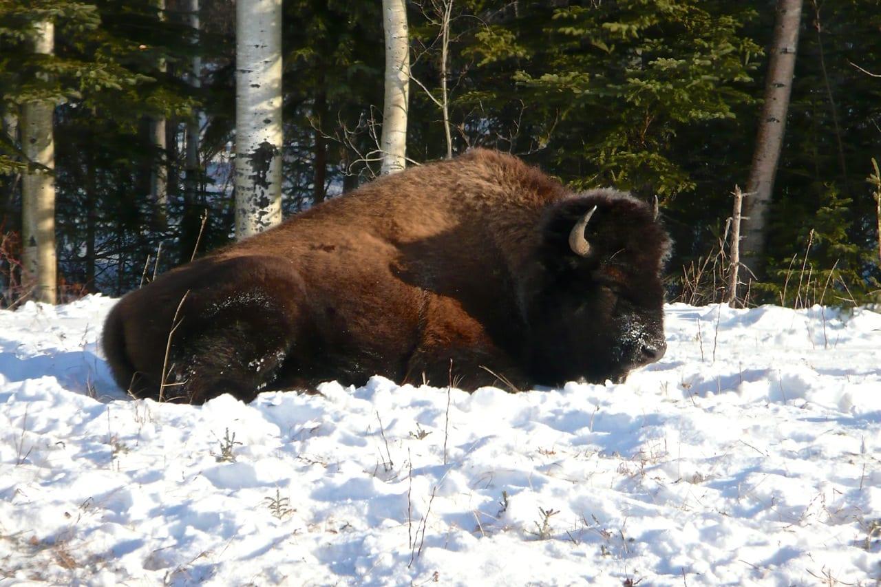 Bison along Alaska Hwy