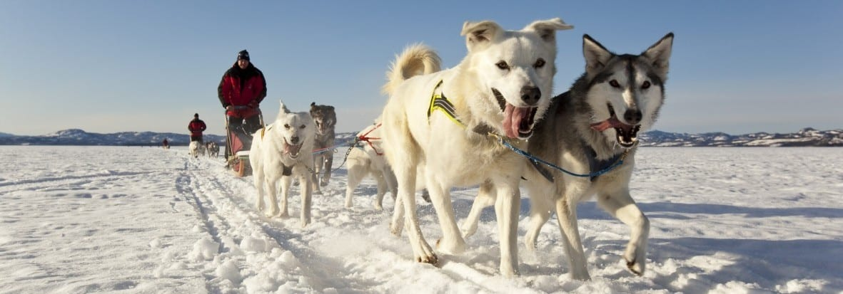 Sled Dogs For Sale Fairbanks Ak